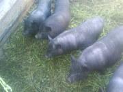 Вьетнамские свиньи, поросята