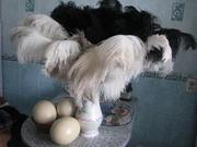 Продам яйцо,  мясо,  жир,  кожу,  перо африканского страуса