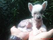 продам щенков китайской хохлатой собаки.