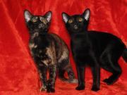 Азиатские котята (варианты окрасов бурмы)